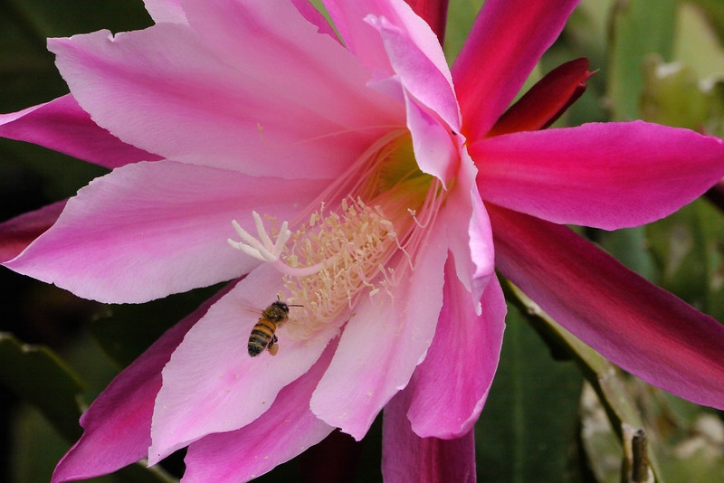 20121121_0806_5296 epiphyllum and bee