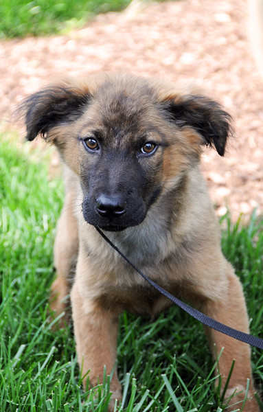 shep puppy 2 a.jpg