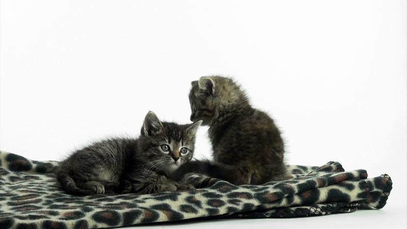 kitten_tabby_2_05.mov