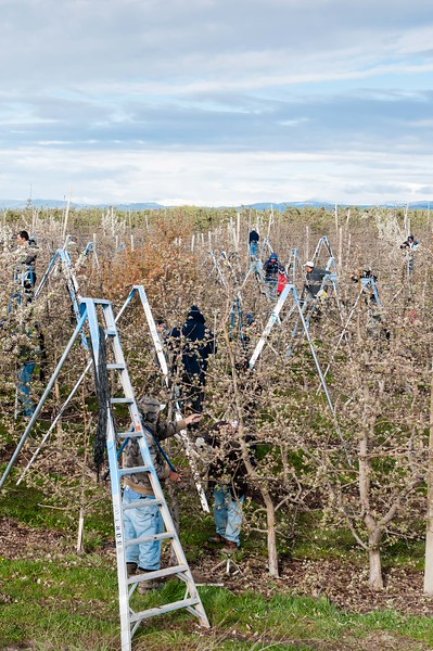 Workers Pruning and Tying in West Valley, Yakima Orchard
