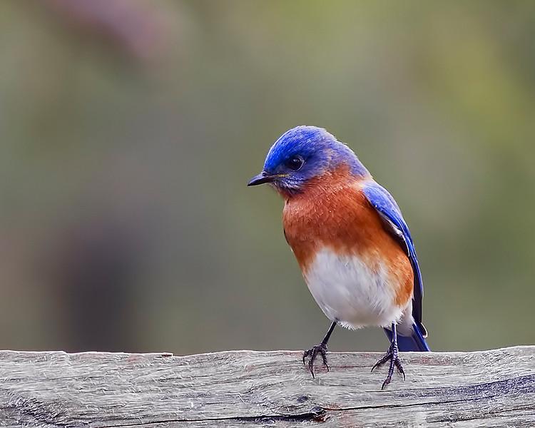 TomSimpsonBluebird2.jpg