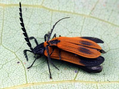 Lycidae - Net-winged Beetles