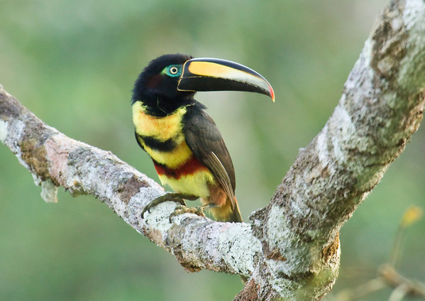 Birds of Eastern Ecuador: the Amazon basin