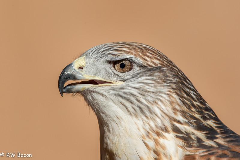 Ferruginous Hawk-1.jpg
