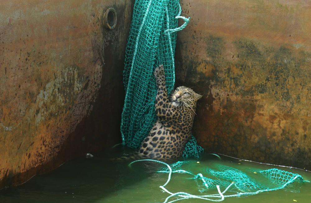 Description of . A fully grown male wild leopard climbs a net after it fell into a water reservoir tank at a tea estate in Haskhowa, some 45 kms from Siliguri, on June 20, 2012. The animal was rescued by the Sukna Forest rescue team from the Mahananda Wildlife sanctuary by lowering a ladder and a net into the tank. AFP PHOTO/Diptendu DUTTA/AFP/Getty Images