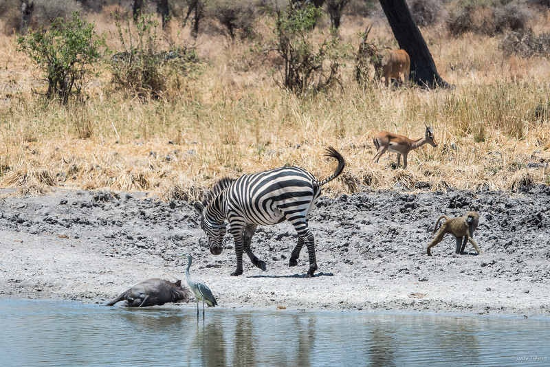 Tarangire National Park watering hole -0043.jpg