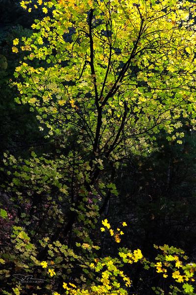JM8_0478 Fall Tree Zion LPN LM.jpg