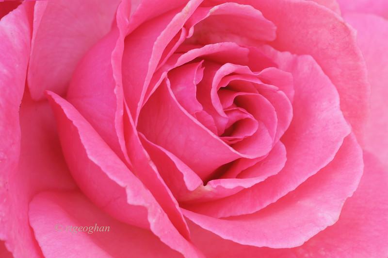 June 17_Brookdale-Pink Rose_2260.jpg