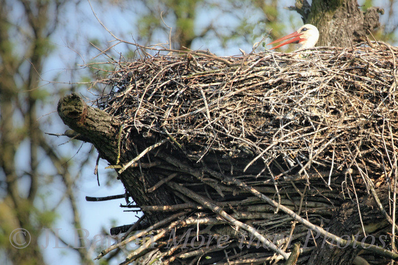 Keeping the eggs warm - One of 51 occupied nests this year, a few weeks later than usual due to the late spring.  Here high in the trees of the March river marsh areas near Marchegg, Austria.