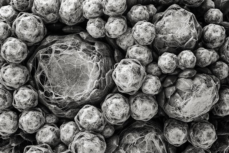 cobweb sempervivum