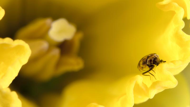 Bug  on Daffodil.jpg