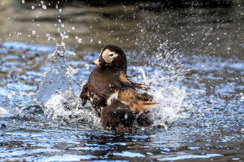 Long-tailed Duck (breeding plumage) takes a vigorous bath