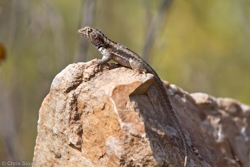 Lizard at Chaparri Reserve, Lambayeque, Peru (06-27-2010) 614