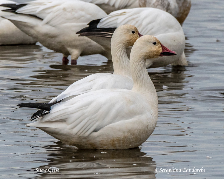 _DSC9013Snow Geese.jpg