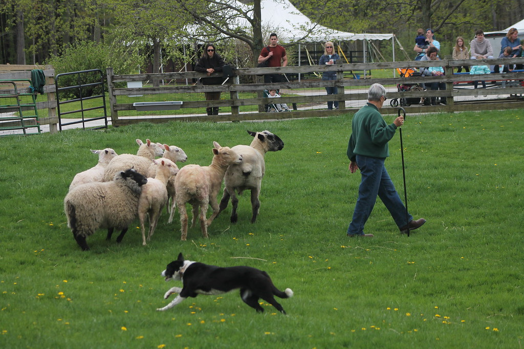 . Farmpark interpreter Donnie Malinas and border collie Tot give sheep-herding demonstrations during the Farmpark\'s sheep shearing weekend May 13. Kristi Garabrandt - The News-Herald