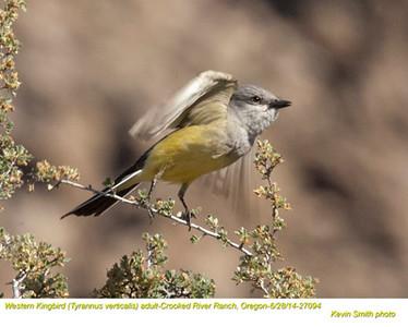 Western Kingbird A27094.jpg
