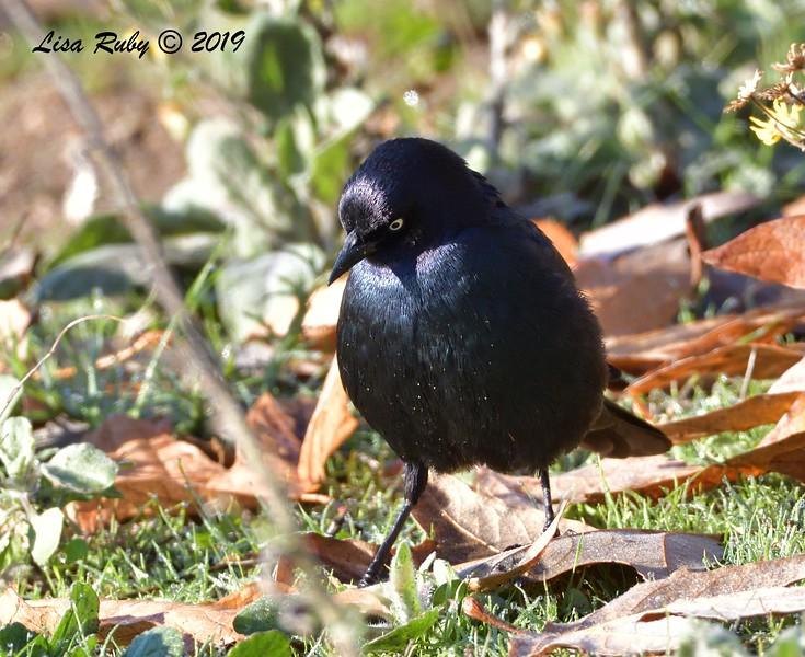 Brewer's Blackbird  - 12/28/2019 - Lake Wohlford area