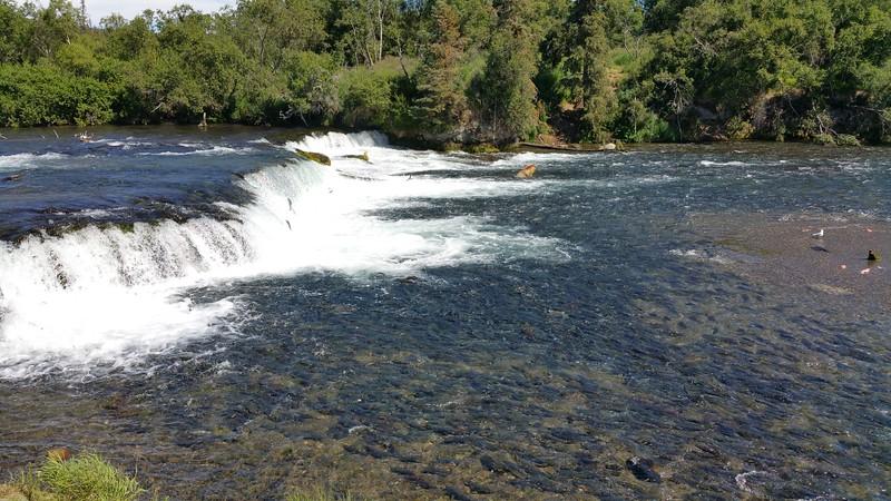 20160713-420 - Katmai NP-Brooks Camp-Otis and Salmon from Brooks Falls Overlook.jpg