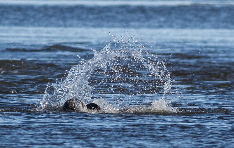 Harbor Seal Cape Merry Hudson Bay Churchill Manitoba Canada IMG_0279.jpg