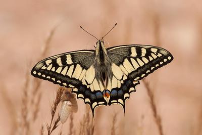 Sommerfugle og Insekter fra Extremadura