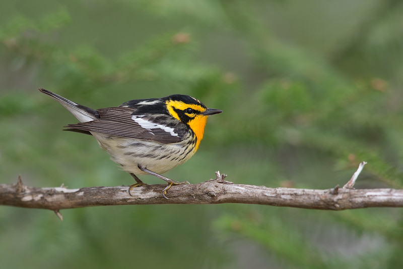 Blackburnian Warbler - Upper Peninsula, MI, USA