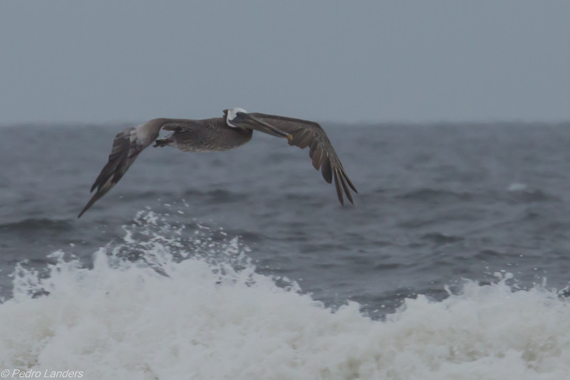Surfing Pelican Style