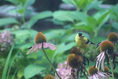 2005-08-23 finches