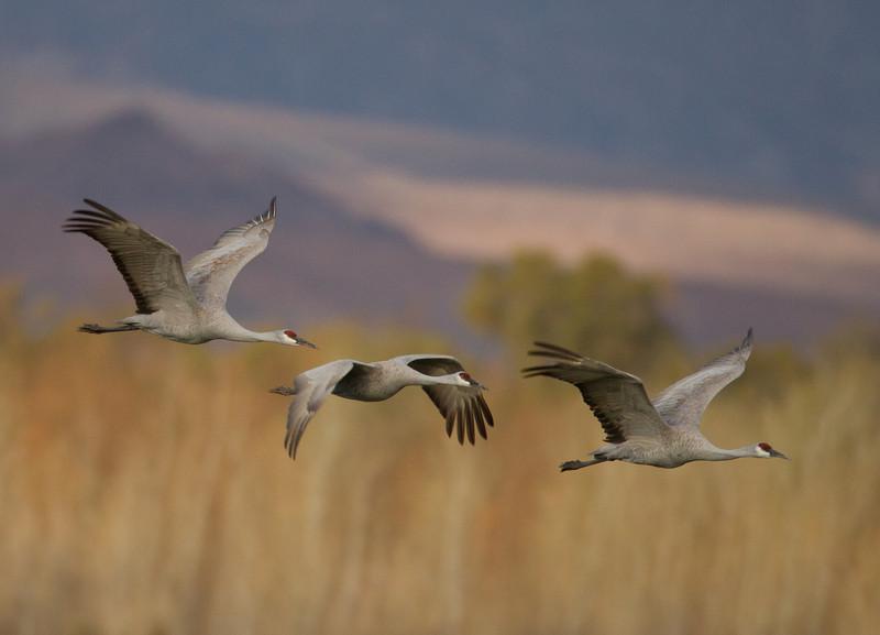 Sandhill Crane   Cibola NWR 2014 02 01-3.CR2