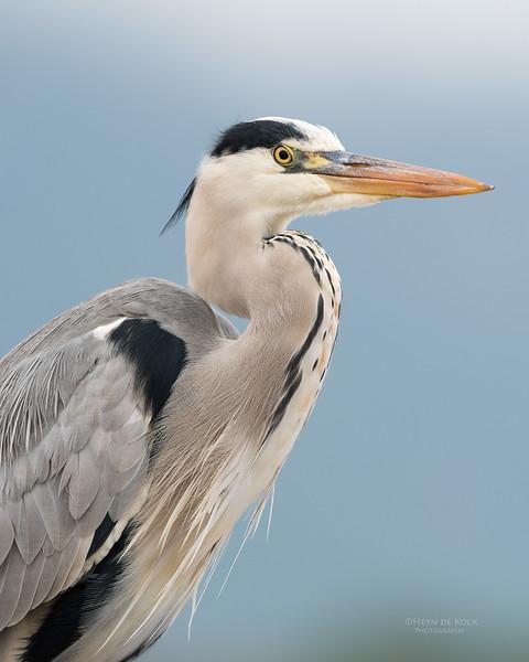 Grey Heron, Zimanga, South Africa, May 2017-7.jpg