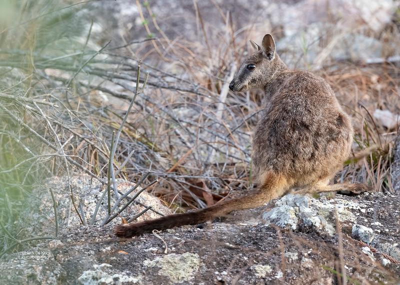 Mt Claro Rock-wallaby, Hidden Valley, QLD, Jan 2020-7.jpg
