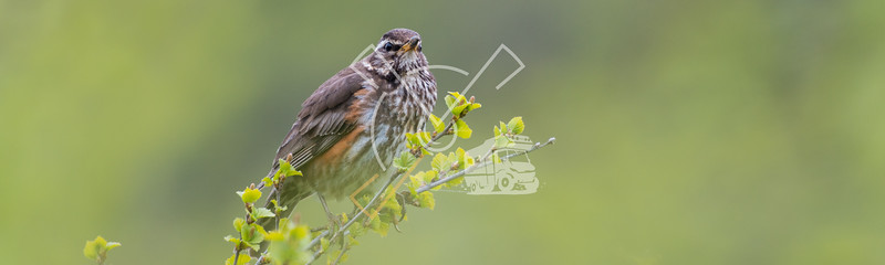 Singing Redwing (Turdus iliacus) trush in green surrounding