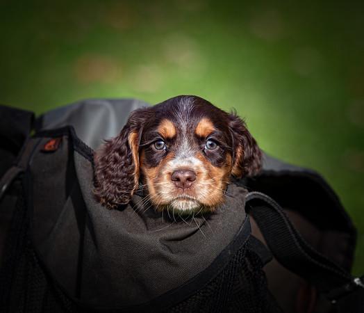 Brewster Puppies