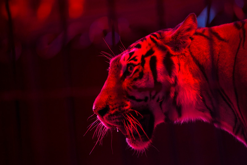 . In this June 22, 2014 photo Furia, a female Bengal Tiger, looks at Alex Fuentes, the trainer, during a performance with the Fuentes Gasca Brothers Circus in Mexico City. Besides their daily feed of two whole chickens, Fuentes still on occasion feeds the tigers special nutrient filled milk by hand out of a baby bottle. �Its good for their digestion,� he said. (AP Photo/Sean Havey)