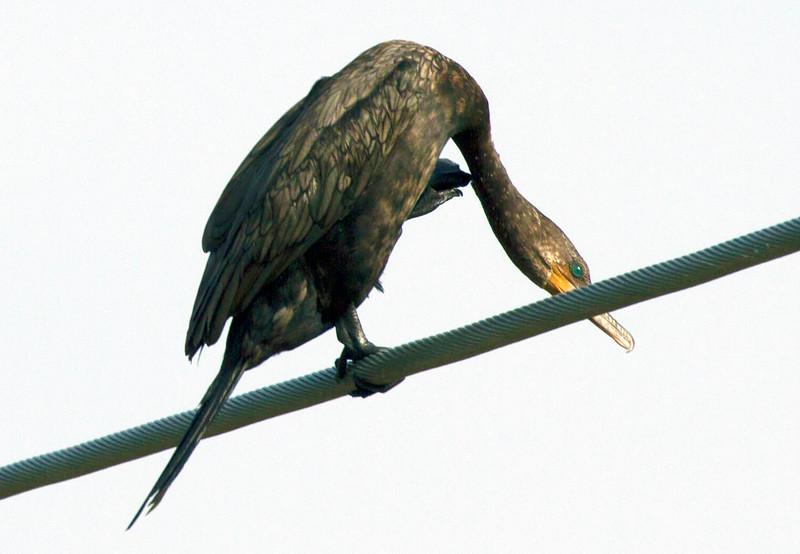 cormorantwithbentneck.jpg