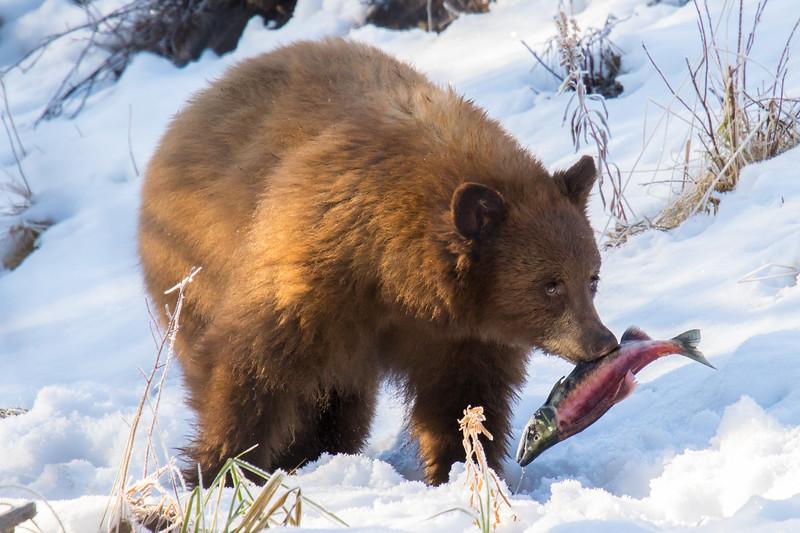 Tahoe Bear Fall 2020-1.jpg