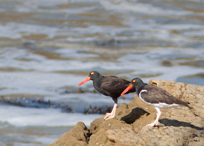 Oystercatchers, Thick-knees, Pratincoles etc