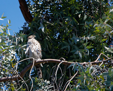 Cooper's hawks of Frenchman's Street