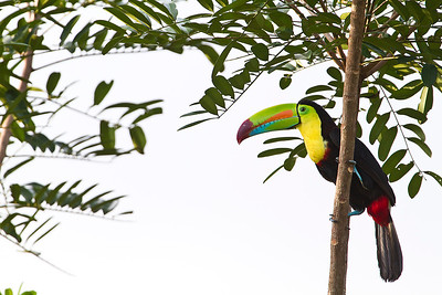 Keel-billed Toucan (Tucán pico iris)