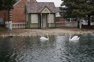 Swans in April 2011