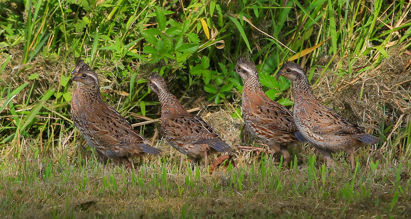 zAnahuac 8-21-14, Old T3i, 004A, line of Quail (1 of 1).jpg