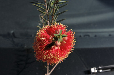 Banksia - D300 Sept 08