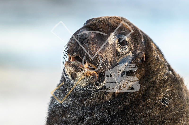 "Portrait of male bull ""New Zealand Sea Lion"" at the sandy Sandfly bay beach"