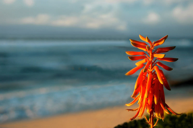 Silhouette of Aloe vera against the coral and orange sky and the blue ocean at sunset