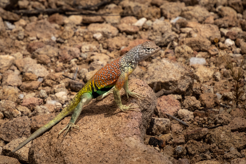 Texas greater earless lizard Big Bend Nat Park -0703.jpg