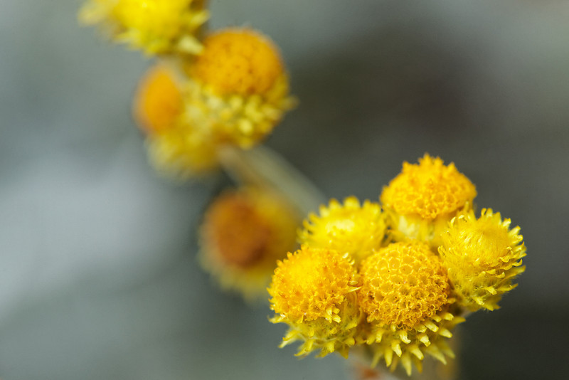 Yellow buttons (Chrysocephalum semipapposum)