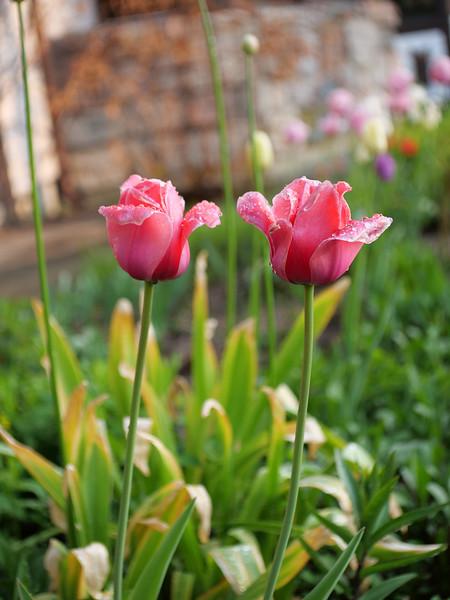 tulip buddies 1 P1202688.jpg