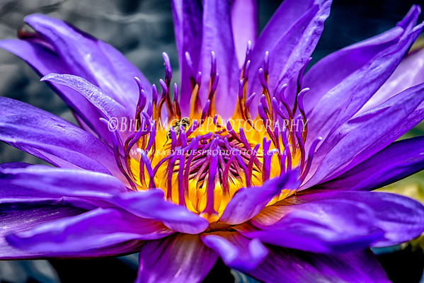 Longwood Gardens Water Lilies - 19 Jun 2015