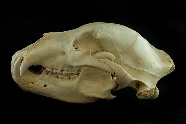 Mammal Skulls Ursidae