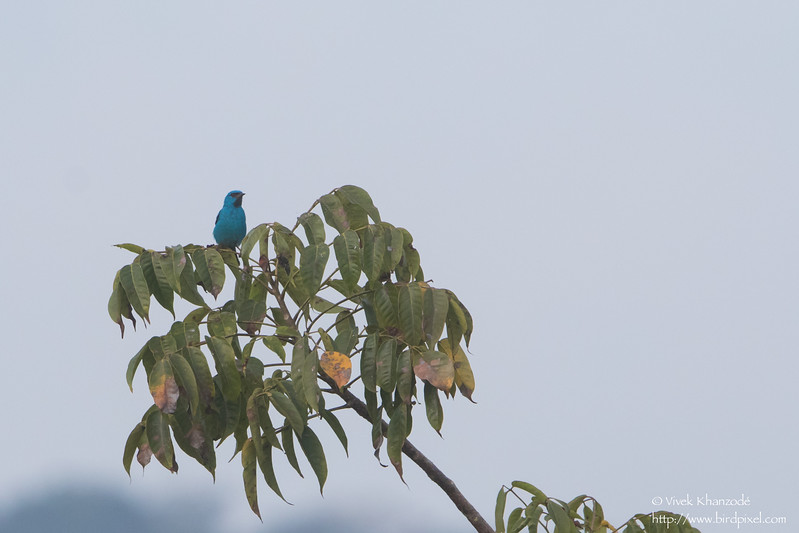 Blue Dacnis - Record - Gamboa Rainforest Resort, Gamboa, Panama