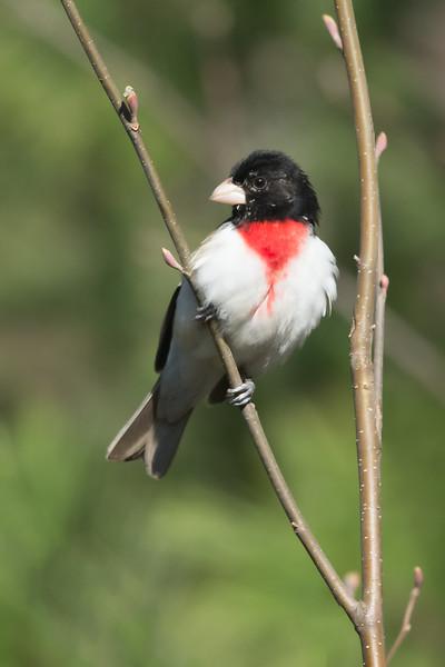 Rose-breasted Grosbeak - Male - Grayling, MI, USA
